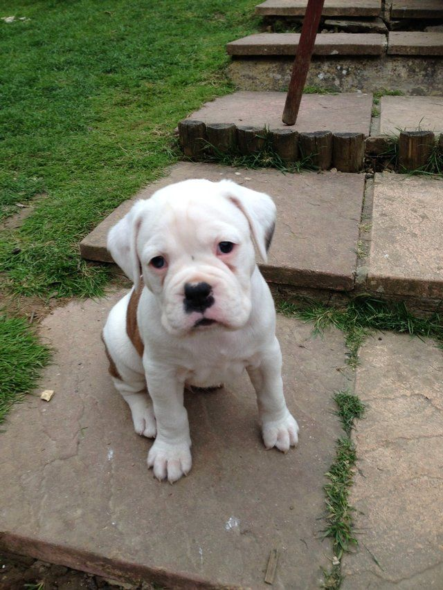 free white boxer puppies   Click here to view full size ...