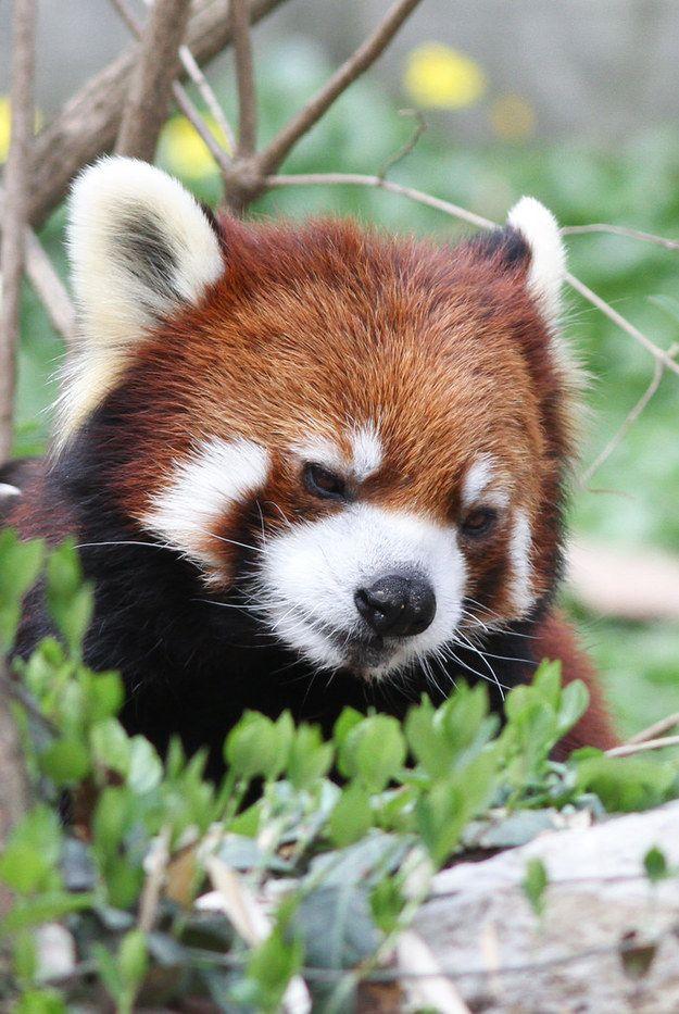 Extrêmement 553 best red panda images on Pinterest | Red pandas, Panda bears  UL54