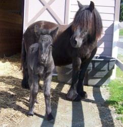Moonlit Fell Pony Farm