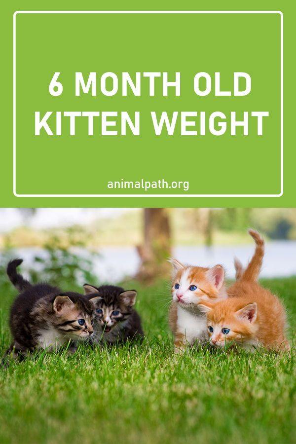 Find Out How Much A Six Months Old Kitten Should Weight