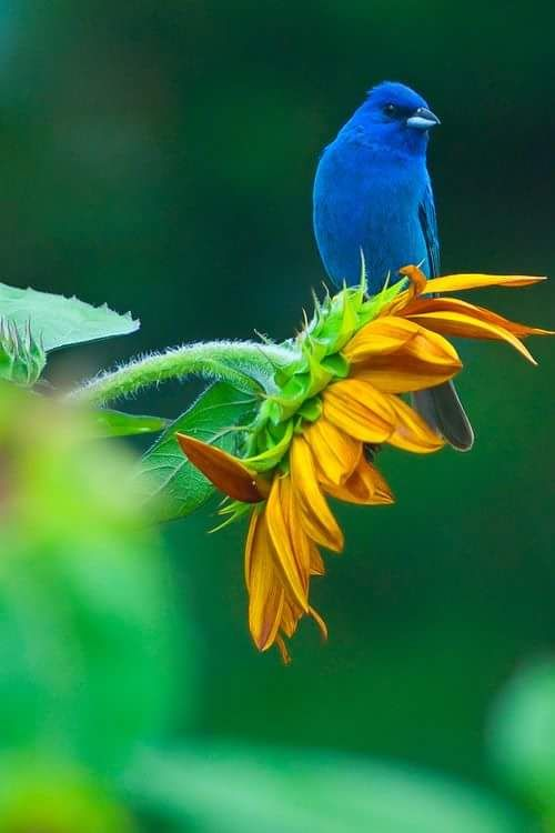 Blue bird on a sunflower