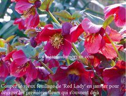 HELLEBORUS ORIENTALIS 'RED LADY' une plante vivace du Jardin du morvan, pépinière de Thierry DENIS