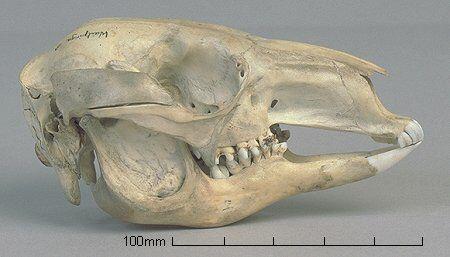 Image from http://www.skullsite.co.uk/Kangaroo/kangaroo_lat.jpg.