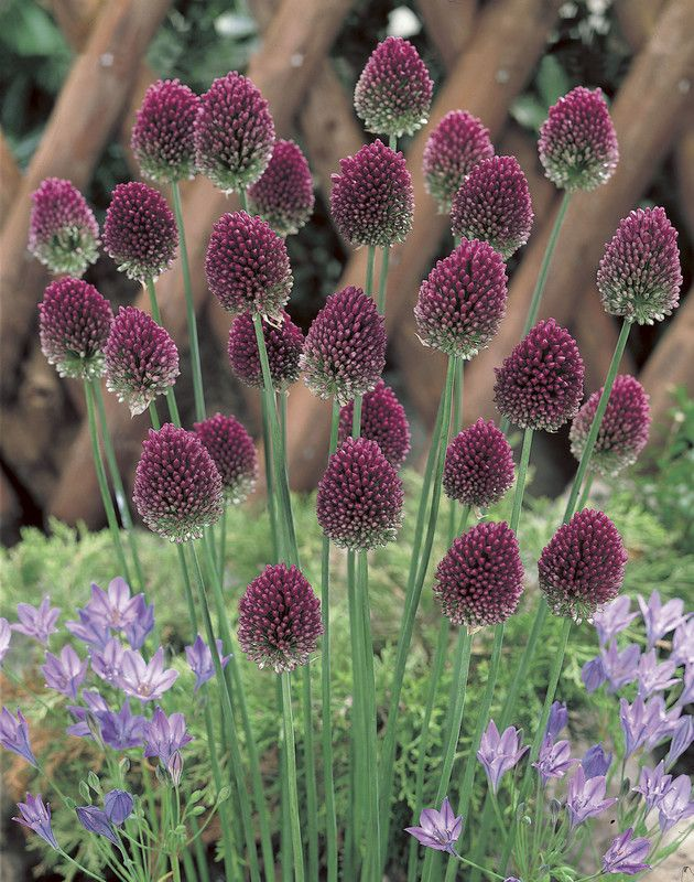 Sphaerocephalon Allium Bulbs Allium Flowers Onion Flower Purple Flowers Garden