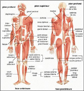 Le corps humain - anatomie - physiologie