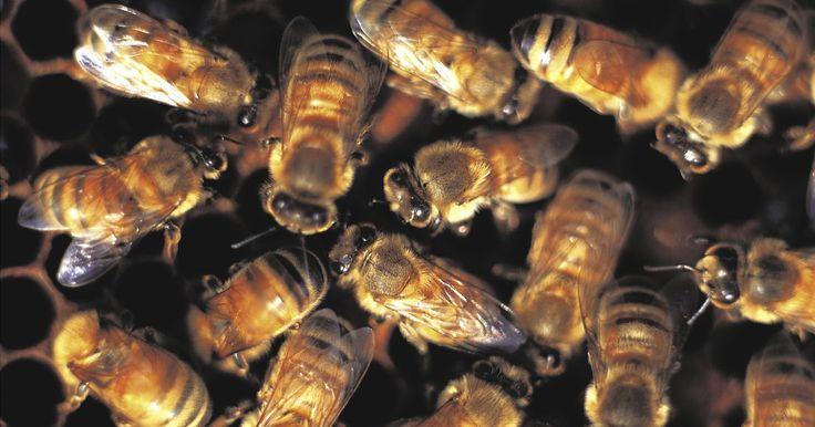 Cómo identificar la abeja reina. Las abejas son insectos voladores que se alimentan de polen y néctar. Existen aproximadamente 400 especies diferentes de abejas sociables que viven en colonias. La mayoría de los miembros de estas colonias son abejas hembra infértiles que se conocen como abejas obreras. Las colonias también incluyen algunos machos fértiles que se conocen como ...