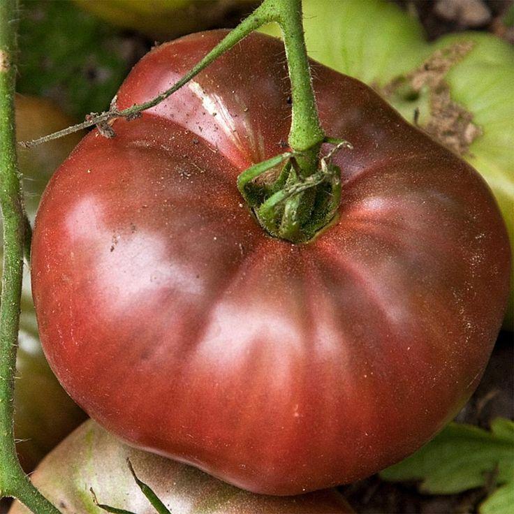 Altman Plants Mighty Mato Cherokee Purple Heirloom Tomato Plant in Quart Pot