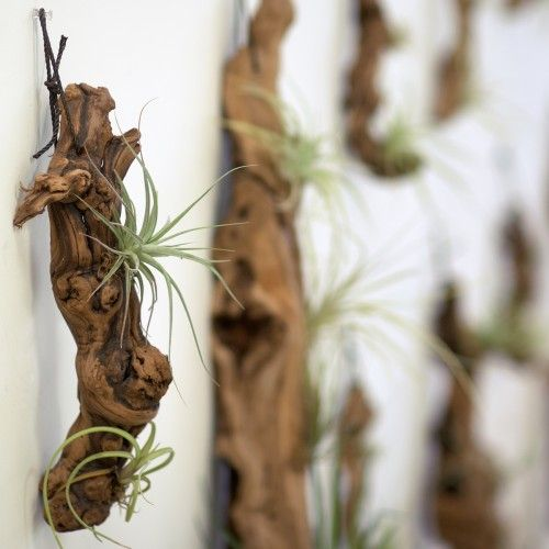 Vertical Garden. Tillandsias are often called air plants because they thrive without soil.
