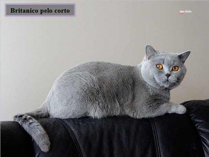 colección razas de gatos