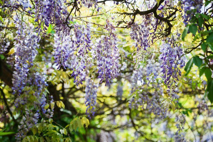 ber ideen zu blauregen auf pinterest glyzinie kletterpflanzen und wisteria sinensis. Black Bedroom Furniture Sets. Home Design Ideas