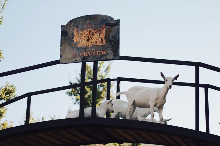 Goats | Fairview | Paarl