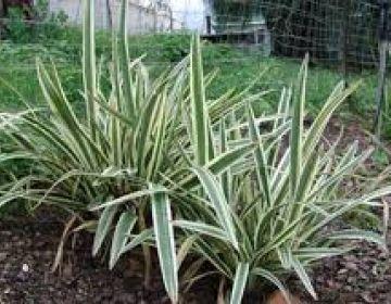 51 melhores imagens de vegeta o no pinterest palmeiras for Planta ornamental zamia