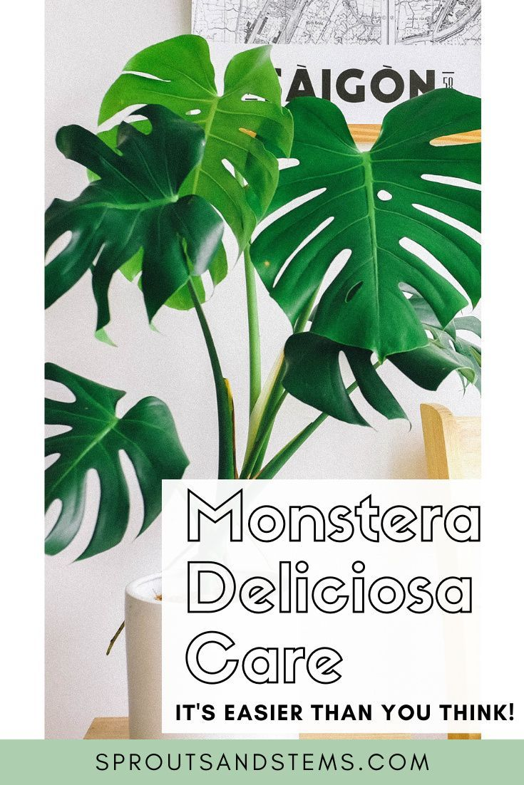 How To Care For And Propagate Monstera Deliciosa In 2020 Monstera Deliciosa Monstera Deliciosa Care Monstera