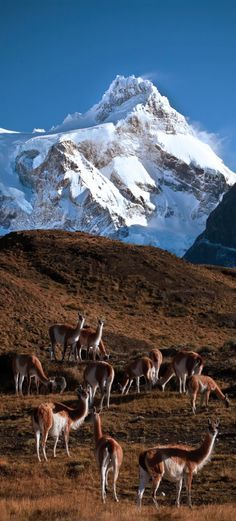 Guanacos in Torres del Paine National Park, Chile | by Jeremiah Thompson on Flickr