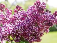 Plant Sensation lilac for a showstopping spring display. Fragrant flower clusters feature single purple blooms edged in white. Blooms open in mid-spring on plants that grow 8 to 10 feet tall and 8 to 12 feet wide. Sensation is hardy in Zones 2 to 7. Occasionally flowers may revert to solid white.
