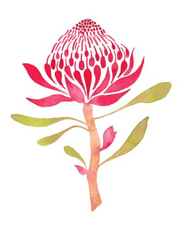 Illustration of a Waratah flower
