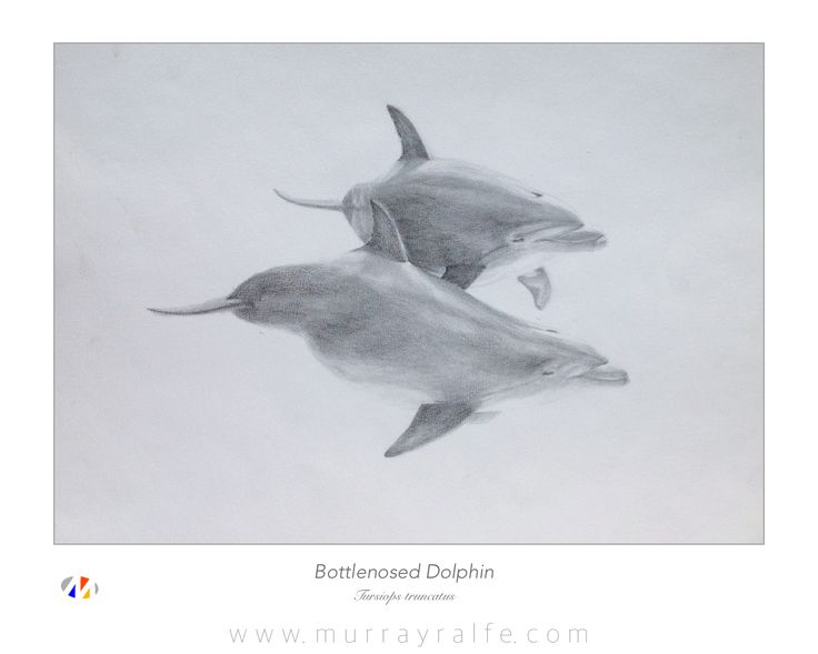 Bottlenosed Dolphin (Tursiops truncatus) Pencil Drawing  Murray Ralfe