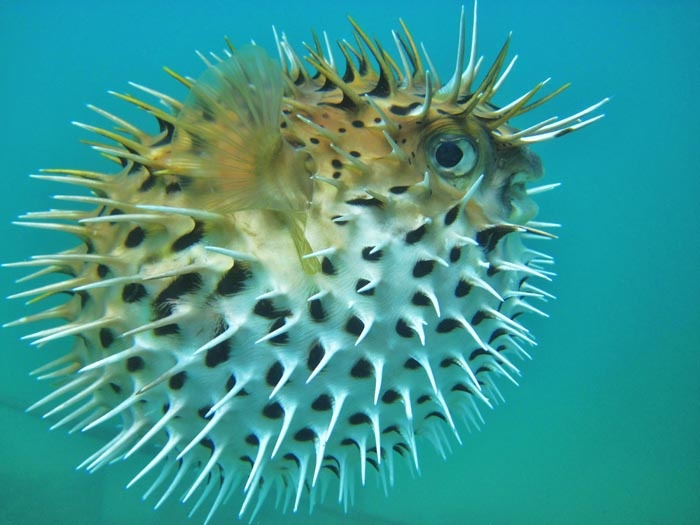 37 best images about puffer fish on pinterest pet fish for Puffer fish images