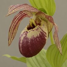 mature lady slipper plants for sale jpg 1500x1000
