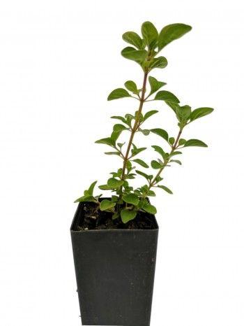 Organic Pot Marjoram | Origanum onites plant - herbcottage