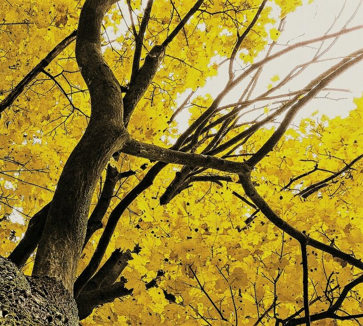 #yellow #tree