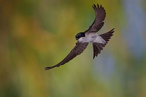 """#Schwalbe #Mehlschwalbe (Delichon urbicum) im Flug """"Die Schwalben (Hirundinidae) sind eine artenreiche Familie der Ordnung Sperlingsvögel (Passeriformes), Unterordnung Singvögel (Passeres). Schwalben ernähren sich von Fluginsekten, in Mitteleuropa sind sie Zugvögel. Der typisch gegabelte Schwalbenschwanz war für andere Objekte (z. B. den Schmetterling) namensgebend, ebenso wie der charakteristische Nestbau..."""" #燕 #燕科 #swallow #hirundo (ESPERANTO)"""