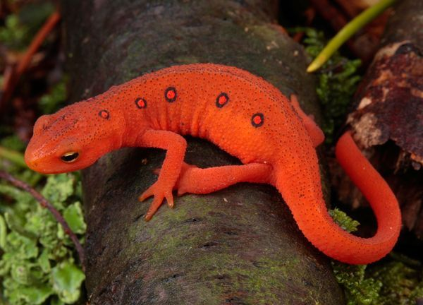 National Geographic Red Eft.