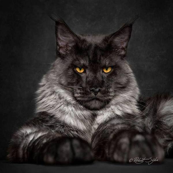 """Die Main Coon ist die größte Katzenart, die domestiziert wurde. Alles was größer ist und du müsstest Angst haben zum Frühstück verspeist zu werden. Robert Silijka hält die Main Coons für äußerst majestätische Tiere. Es wollte ihre Schönheit mit der Welt teilen. """"Meine Leidenschaft sind Katzen und Fotografie. Ich wollte diese beiden Leidenschaften so gut wie mögliche miteinander kombinieren,"""" sagt er auf seiner Webseite. Robert sagt, dass er seine Inspiration von einem Foto bekam auf dem """"Dolc… – Jo vo"""