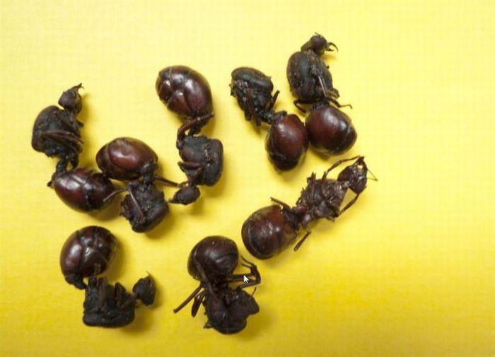 Съедобные насекомые на прилавках магазинов (27 фото)