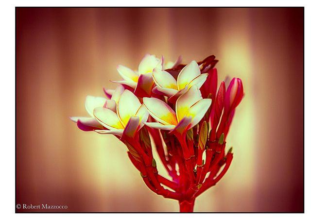 Frangipani   Flickr - Photo Sharing!