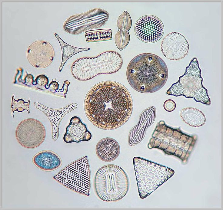 Kreispraeparat, Picture of Diatom, Microscopic Nature,structures, diatoms closeup plant life ,Diatomeen, kieselalge, algae, microscope, Mikroskopie