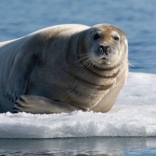 related pictures seal arctic - photo #37