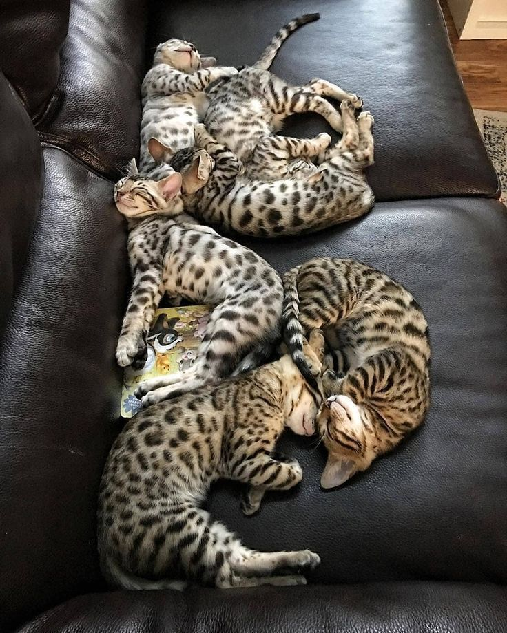 Six Bengal Cats Sleeping On The Couch Cats Kittens Bengalcats Bengal Ben Ben Bengal Bengalcats Cats Bengal Katzchen Katzen Schlafende Katze