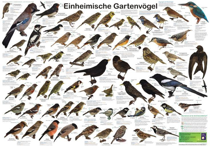 Einheimische Gartenvögel-Poster zum Bestimmen der Vögel in unserer Umgebung