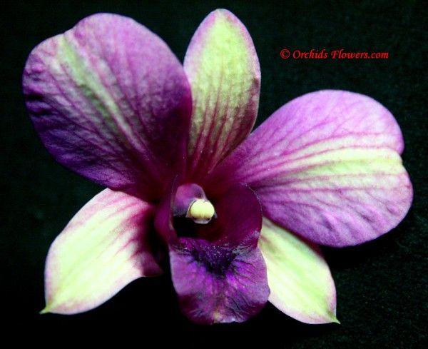 Dendrobium Yashiga Fantacy Orchid Hybrid