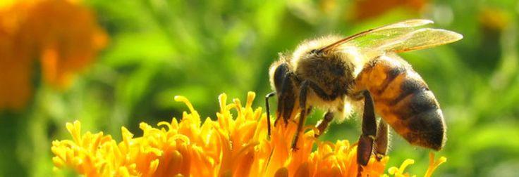 Pesticidas químicos impiden a las abejas reproducirse