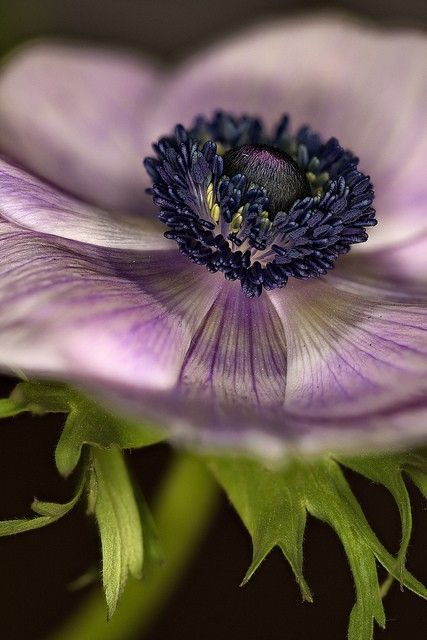 Incredible anemone shot! #gardening #purple by patrice