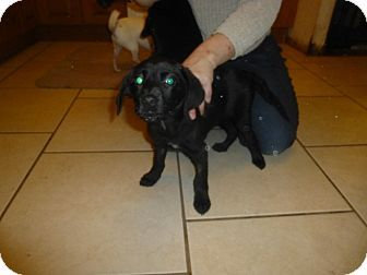 Glastonbury, CT - Labrador Retriever Mix. Meet Roxy, a puppy for adoption. http://www.adoptapet.com/pet/17065826-glastonbury-connecticut-labrador-retriever-mix
