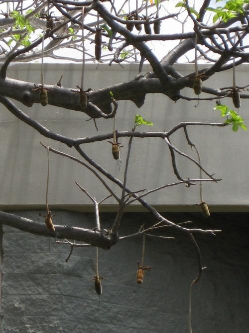 Dead rat tree #Hawaii