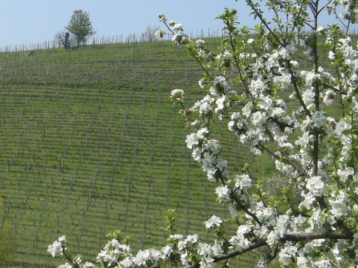 Spring in our Wineyards