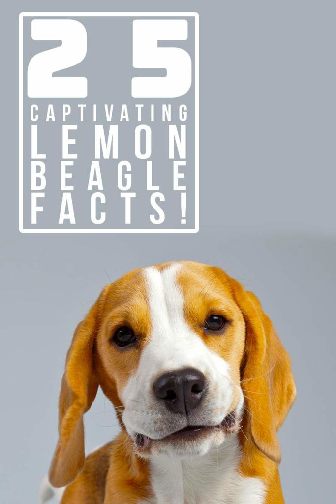25 Fascinating Lemon Beagle Facts Beagle Facts Lemon Beagle
