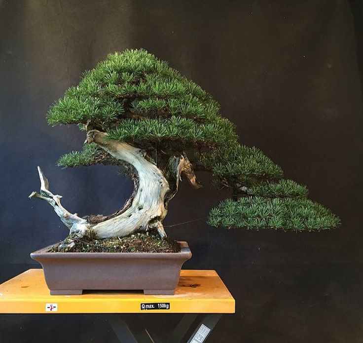 Bonsai Art For Living Room: 17 Best Images About Bonsai On Pinterest