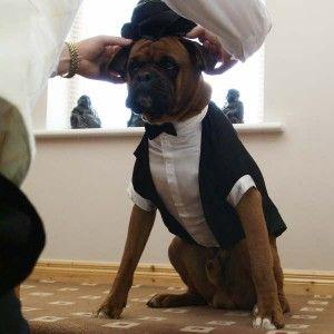Resultado de imagen para boxer dog dressed in smoking