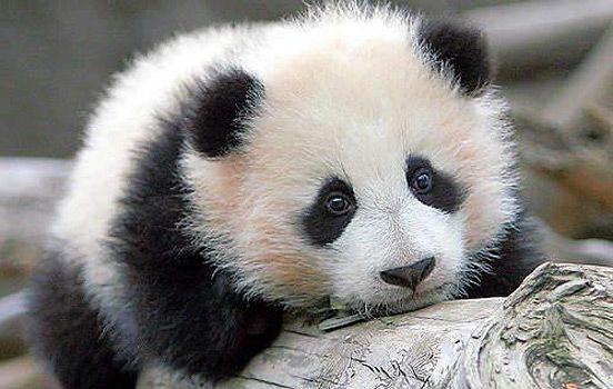 Panda: Babies, Baby Pandas,  Pandas Bears, So Cute,  Ailuropoda Melanoleuca, Pandabear, Giant Pandas,  Coon Bears, Animal