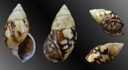 Amphidromus (Giniodromus) bulowi - Rarest Amphidromus species - malacology-asia.com