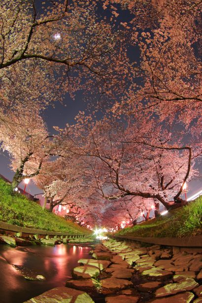 Someday, I'll get to see these for real. #cherryblossoms #sakura