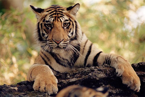 Leonardo DiCaprio Gives $3M to Help Double Nepal's Tiger Population http://www.ecorazzi.com/2013/11/21/leonardo-dicaprio-gives-3m-to-help-double-nepals-tiger-population/
