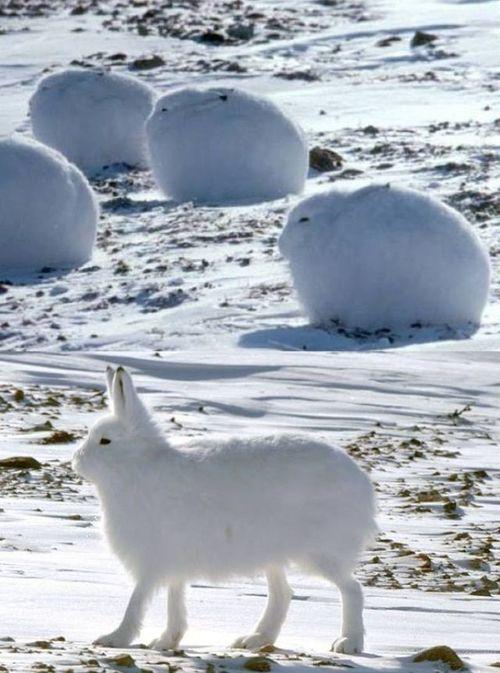 純白でまんまるに身を丸めているのは、極寒の環境である北極などに生息するその名もホッキョクウサギ。寒そうに丸くなって縮こまってる姿がなんともカワユイ!立った姿は更にカワユイ!そんなモフモフな小動物。寒い場所に住む可愛いウサギはホッキョクウサギ!