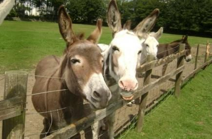 Attraction Donkey Park Sanctuary | Tamar Valley Donkey Park | Gunnislake