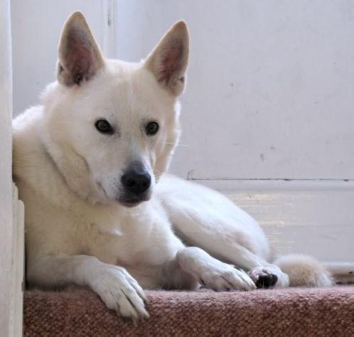 Ханаанская собака (Canaan dog) Ханаанская собака (Canaan dog) – умная, преданная и смелая собака с тысячелетней историей родом из Израиля. Высоко ценится за достаточно уникальный набор характеристик...